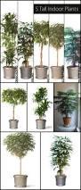 5 tall indoor plants http www ambius com blog 5 tall indoor