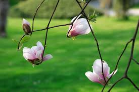 meaning and symbolism of a magnolia flower