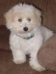 bichon frise intelligence bichon poo bichon poodle mix info puppies pictures temperament