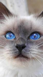best 25 grey cat breeds ideas on pinterest cat face common cat