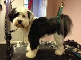 hair cuts for the tebelan terrier grooming gorgeous dog of the monthgrooming gorgeous