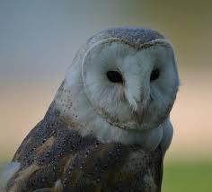 North American Barn Owl Common Barn Owl Birds Of India Bird World