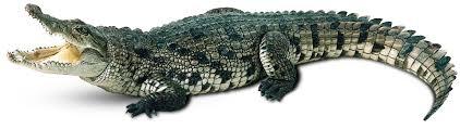 crocodiles u0026 alligators kids crocodile facts dk find out
