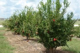 What Fruit Trees Grow In Texas - texas fruit growers blog fruit u0026 nut resources