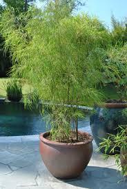 Wohnzimmer Deko Bambus Bambus Im Kübel Als Sichtschutz Und Deko Auf Der Terrasse