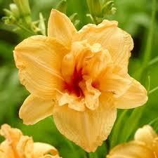 reblooming daylilies daylily reblooming daylily reblooming
