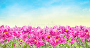 Peonies Flower Pink Peonies Flower Bed On Sky Background Stock Photo Image