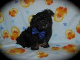 affenpinscher adults for sale shereana u0027s havanese havanese puppies for sale