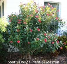 All Year Flowering Shrubs - 370 best plants for south florida images on pinterest south