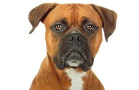 australian shepherd boxer mix canine breed specific considerations for anesthesia veterinary