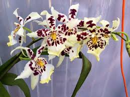 orchids for sale orchids summer sale orchidelirium