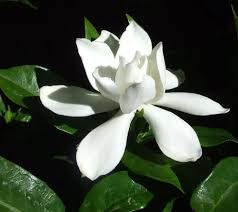 amazon com gardenia augusta aka jasminoides frost proof