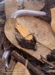 Plains Blind Snake Snakes Great Stems