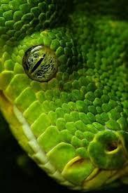 a green snake wallpapers yellow snake stunning animal 600094 jpg 3 333 2 500 pixels