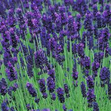 Shrub With Fragrant Purple Flowers - lavender loddon blue fragrant lavendula shrub garden plant in pot