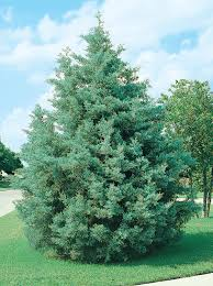 cupressus arizonica blue pyramid cypress monrovia plants for