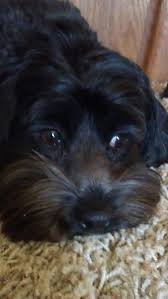 Do Cockapoo Dogs Shed A Lot by 121 Best Cockapoo Images On Pinterest Cockapoo Puppies Animals
