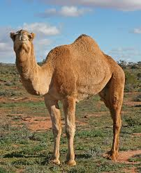 thar desert animals interesting facts about camels ships of the desert camels