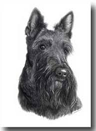 scottish terrier prints note cards