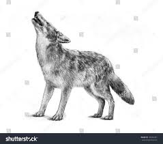 large halloween background large gray timber wolf drawing illustration stock illustration