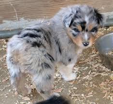 australian shepherd husky puppy 16 best images about puppies on pinterest american pit huskies