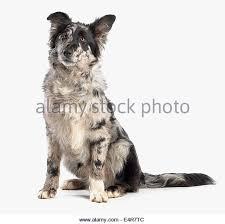 australian shepherd x border collie black white border collie cross stock photos u0026 black white border