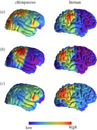 Human Brain Mapping Asymmetry In Human Brain Evolution Proceedings Of The Royal