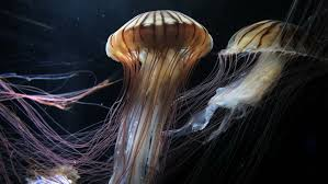 clip in hair cape town purple jellyfish underwater at in false bay cape town stock