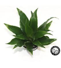 plante d駱olluante chambre depolluante baby plante dracaena deremnensis compacta bobylaplante