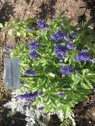 native sage plants summer plants grow different colors and sizes of salvia and sage
