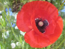 poppies a rockridge life