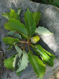 White Oak Tree Bark A Quick But Complete Review Of Common Oak Tree Species
