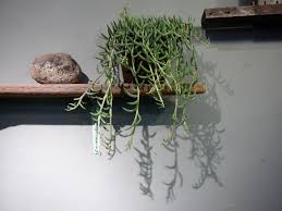 Indoor Vine Plant String Of Fishhooks U2013 Senecio Radicans The Palm Room