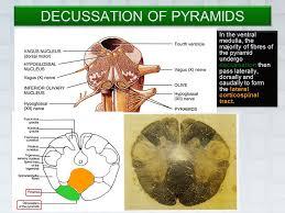 Pyramids Of The Medulla Medulla Oblongata Internal Features Ppt Video Online Download