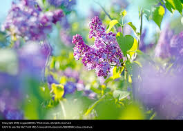 lilac flowers branch of purple lilac with green leaves a royalty free stock