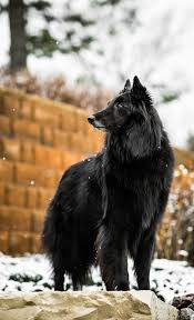 lifespan of belgian shepherd groenendael dog wikipedia