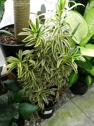 plantfiles pictures dracaena malaysian song of jamaica small