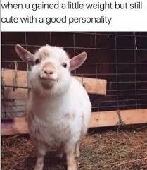 Chubby Meme - chubby goat meme meme rewards