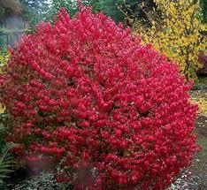 portland native plants behind burning bush u0027s dazzle lies harm to native species
