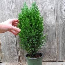 ellwood u0027s blue cypress a miniature christmas tree keep it