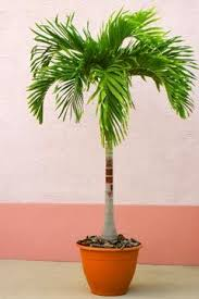 the 25 best potted palm trees ideas on pool plants