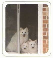 types of american eskimo dogs american eskimo dog breed pictures 1