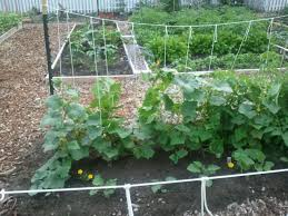 Cucumber String Trellis My Garden Pinterest Gardens And