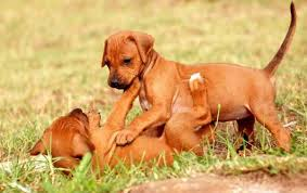 american pitbull terrier rhodesian ridgeback mix the rhodesian ridgeback temperament u2013 meet the african lion dog