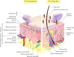 house structure parts names the skin boundless anatomy and physiology