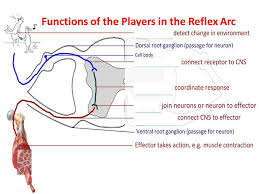 Pain Reflex Pathway Option E Neurobiology And Behavior Ppt Download