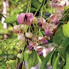 silver bells chocolate vine for sale at jp