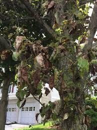 pear tree fungus