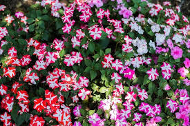 impatiens flowers impatiens accent mix