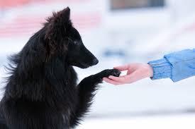 belgian sheepdog houston tx press fort bend pets alive